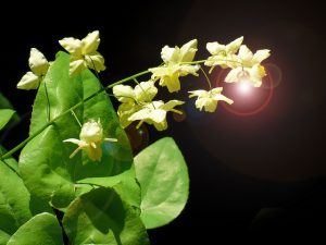 green leaves, cream flower petals and sun rays